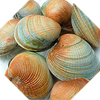 NZ Queen scallop